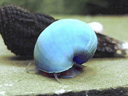 blue apple snail