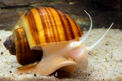 brown striped apple snail