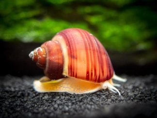 Magenta Apple Snail