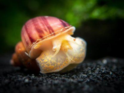 Magenta Apple Snail