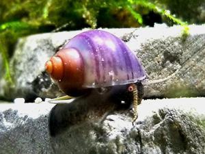Purple Apple Snail