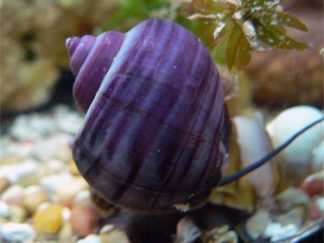 Purple Apple Snail