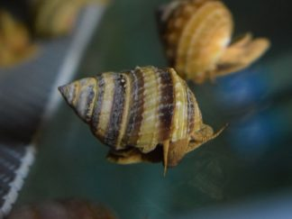 piano snail