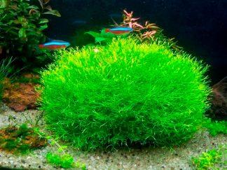crystalwort (riccia fluitans)