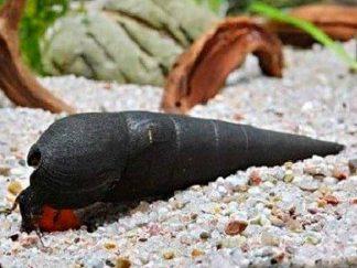 lava snail