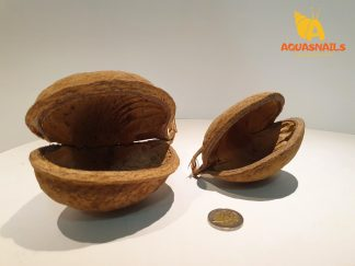 buddha nut