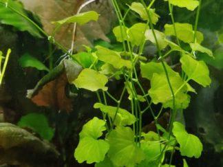 Brazilian Pennywort (hydrocotyle leucocephala)