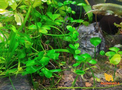 Dwarf Water Clover (Marsilea hirsuta)
