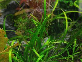 dwarf sagittaria (sagittarria subulata)