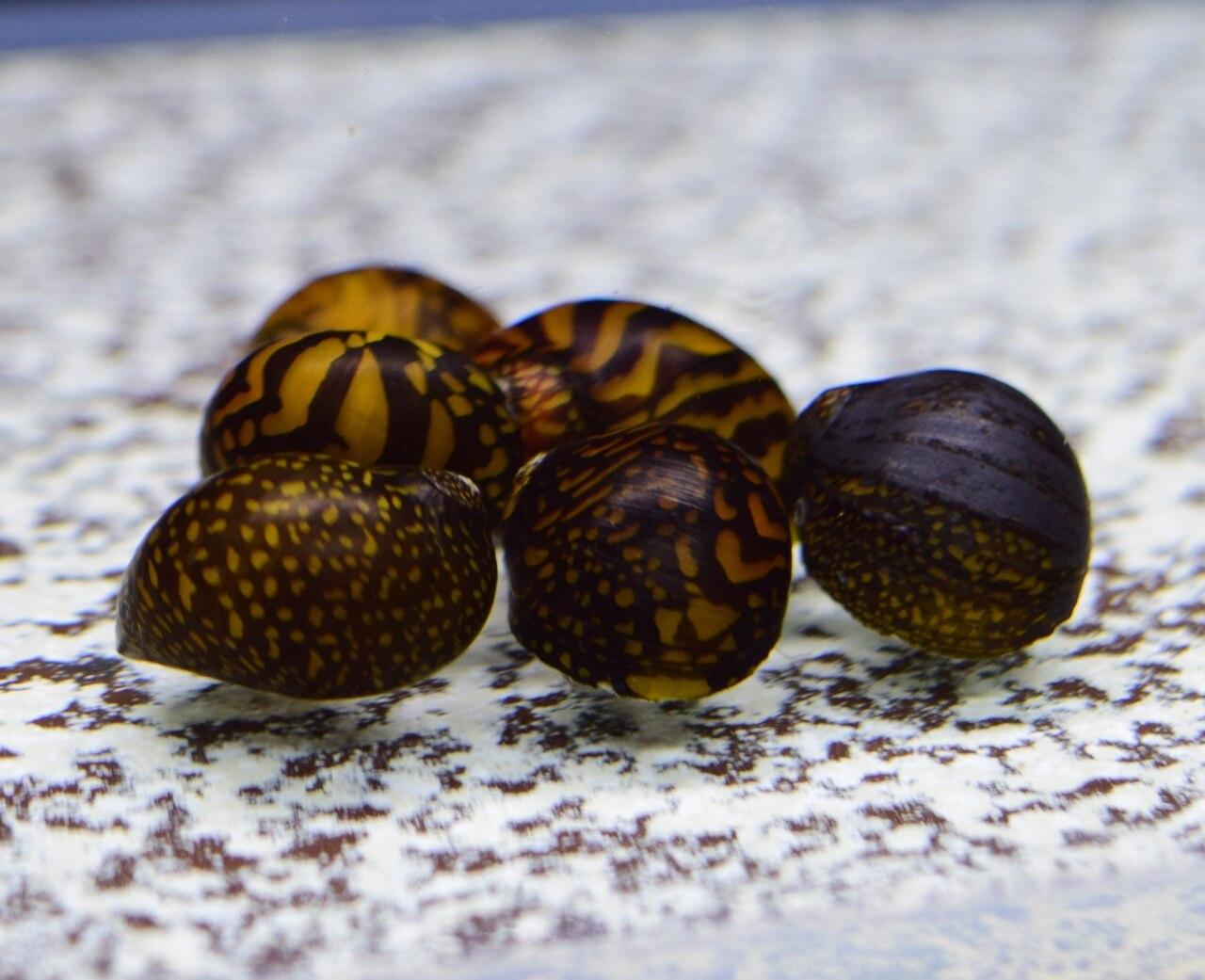 batik nerite snail