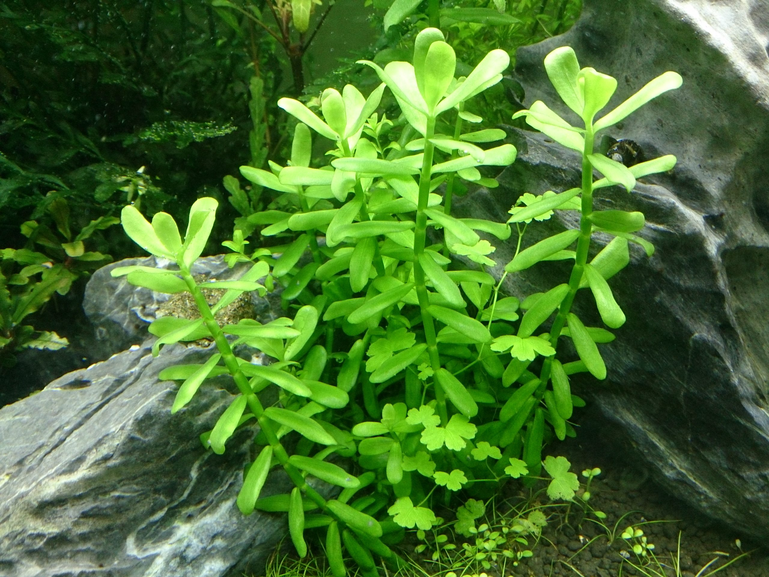 what is bacopa monnieri used for