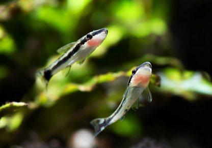 otocinclus cf. affinis