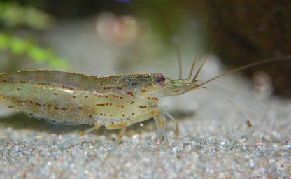 amano shrimp (caridina multidentata)