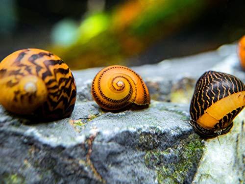 leopard nerite snail