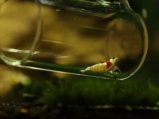 aquapoda no-stess glass shrimp catcher - 25cm