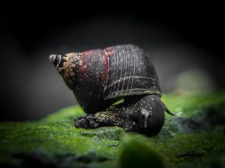Triangle Rabbit Snail (Tylomelania sinabartfeldi)